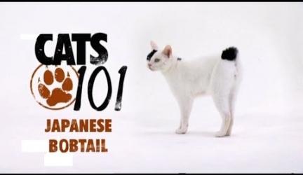 CATS 101 – Japanese Bobtail