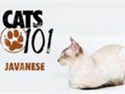 CATS 101- Javanese