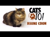 CATS 101 – Maine Coon