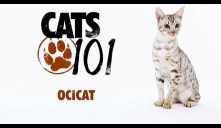 CATS 101 – Ocicat