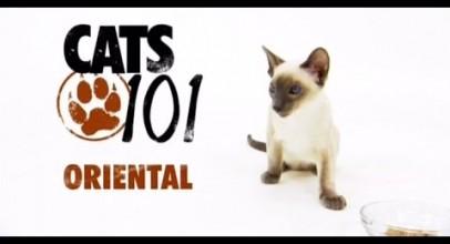 CATS 101 – Oriental