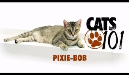 CATS 101 – Pixie-Bob