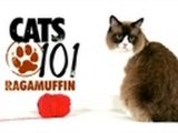 CATS 101- Ragamuffin