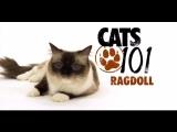 CATS 101 – Ragdoll