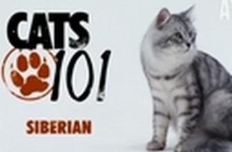 CATS 101 – Siberian