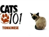 CATS 101- Tonkinese