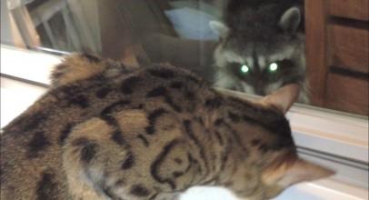 Cats Vs Raccoons
