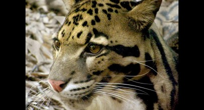 Clouded Leopard – Facts and Figures