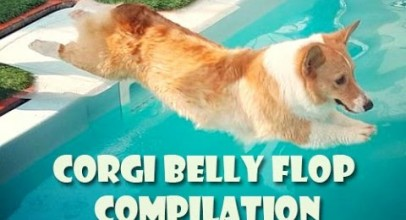 Corgi Belly Flop COMPILATION – Cute Funny Dogs