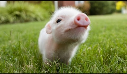 Cute and Funny Piglet Videos Compilation 2016