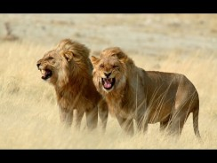 DOCUMENTARY – FASCINATING LIONS / ENGLISH (HD)