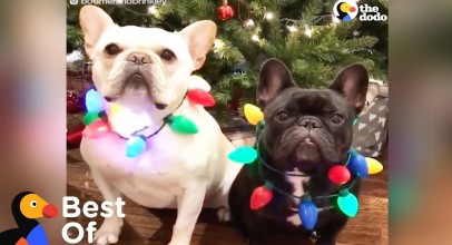 Dogs and Other Animals With Holiday Spirit: Holiday Animal Compilation | The Dodo Best Of