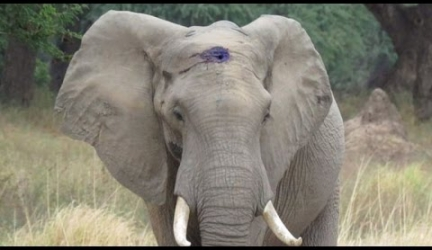 Elephant Calmly Asks For Help After Living With Infected Bullet Lodged In Skull