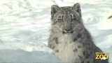 Everest Snow Leopard Cub Playing in the Snow