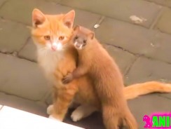 Ferret Doesn't Want Cat to Leave Video