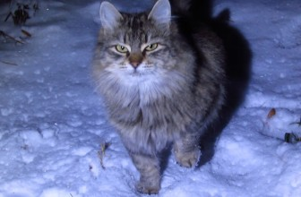 Fluffy Cat walks on the Snow and Purrs
