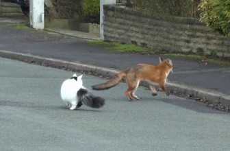 Fox and Cat Playing Together Video