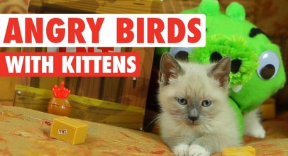 Funny Angry Birds Parody With Kittens