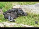 Funny Gorillas Videos Compilation 2017 [NEW]