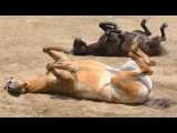 Funny Horses – A Funny Horse Videos Compilation 2015
