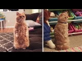 George The Human Cat Prefers To Always Stands Stands On Two Legs