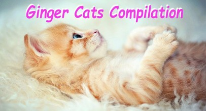 Ginger Cats Compilation Video