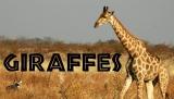 Giraffes for Kids: Learn about Giraffes
