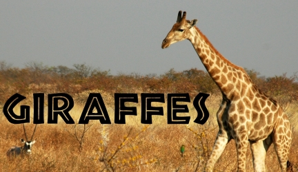 Giraffes for Kids: Learn about Giraffes