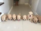 Golden Retriever Puppies Newborn to 12 weeks time-lapse video