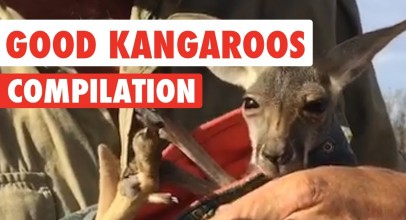 Good Kangaroos Video Compilation 2017