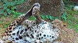 Goofy Leopards!