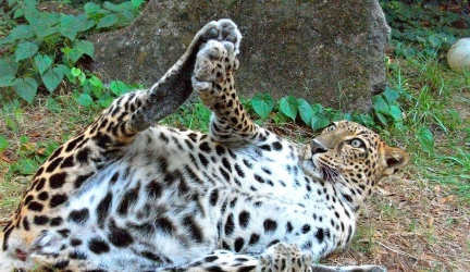 Goofy Leopards!
