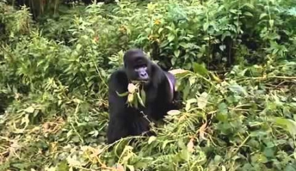 Gorillas Documentary [Full Documentry]