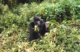 Gorillas Documentary [Full Documentry]