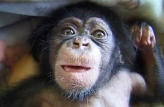 Cute and Funny Baby Chimpanzee