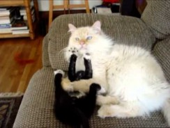 Naughty Kitten Annoys Sleeping Cat Video