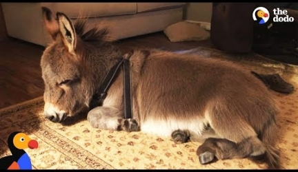 Tiny Donkey Thinks He's Actually A Dog