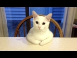 Crazy funny CATS that will make you FAIL THIS LAUGH CHALLENGE