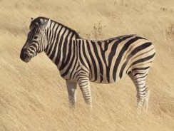 The Great Zebra Migration