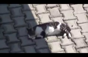 Pitbull Help to Injured Cat and Call People