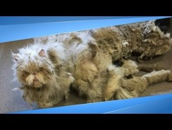 Rescuers Find Cat Dragging A Carpet, Then Shave Off 5 Pounds Of Fur And He Totally Transforms