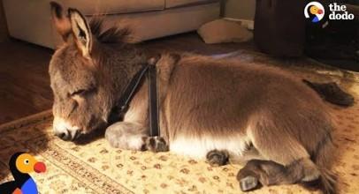 Tiny Donkey Thinks He's Actually A Dog