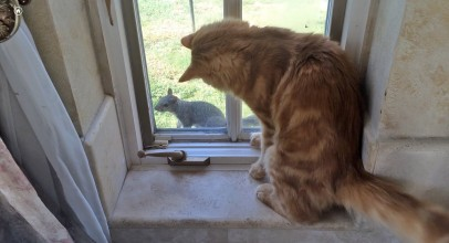 Jack the Cat is Tormented by Fearless Squirrel