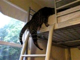 Kitten Climbs Up Loft Bed Ladder Video