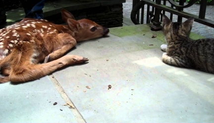 Kitten Excited To See Baby Deer On The Front Porch
