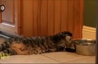 Lazy Cat Drinks Water