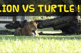 Lion VS Turtle at Big Cat Rescue