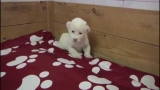 Little White Lion Cub Tries To Roar