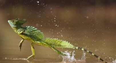 Lizard Runs on Water!