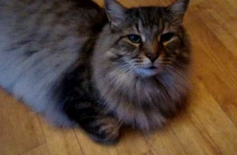 Maine Coon Cat Talks